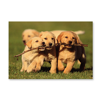 PHOTO DOGS CARRYING STICK